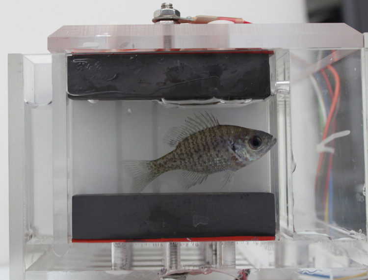 One of eight bluegills at work in an Aquatic Biomonitor chamber
